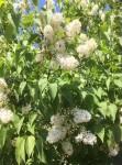jardin 1 lilas blanc