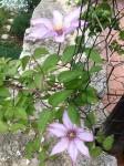 jardin 3 clématite